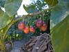 Ripening tamarillos (tanetahi) Tags: fruit subtropical tamarillo brisbane australia treetomato tomateandino tomateserrano tomatedeyuca sachatomate berenjena tamamoro tomatedeárbol solanumbetaceum solanaceae tanetahi