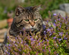 Watching the bellflowers grow (FocusPocus Photography) Tags: cleo katze cat chat gato tabby tier animal haustier pet glockenblumen bellflowers