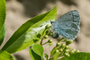 Holly Blue egg-laying (Tim Melling) Tags: celastrinaargiolus holly blue butterfly female egg laying ovipositing oviposition pyracantha west yorkshire timmelling