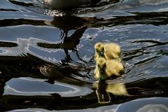 IMG_0597 (Alex Veness98) Tags: canon 7d gosling heron wildlife