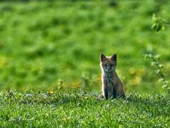 fox kit-butler road sabinsville (dfbphotos) Tags: 2018 tioga wildlife foxkit sabinsville tiogacounty places butlerroad seasons spring otherkeywords may nikon pa usa