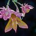 Deilephila elpenor 180521 040.jpg