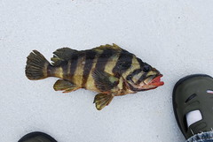 Treefish (Sebastes serriceps) (jd.willson) Tags: jd willson jdwillson nature wildlife fish fishing deep sea bottom pacific salt water saltwater rockfish treefish sebastes serriceps