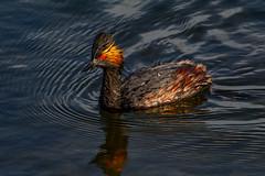 Eared grebe (bodro) Tags: bolsachica bird birdswimming birdphotography droplets earedgrebe ecologicalreserve lateafternoonlight reflection ripples shallows sunintheeye wetlands