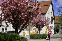 Blüten in der Stadt (Helmut Reichelt) Tags: blüten bäume frühling april stadt kiosk stein streetphoto gerestried bayern bavaria deutschland germany leica leicam typ240 captureone11 dxophotolab leicasummilux50mmf14asph