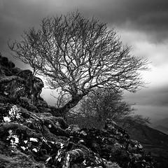 WeeTree Mono (amcgdesigns) Tags: andrewmcgavin fortwilliam scotland square squarecrop monochrome blackandwhite silverefex eos7dmk2 landscape scottishlandscape tree clouds drama dramatic rocks
