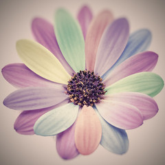 (Rafi Moreno) Tags: margarita daisies macro arcoiris soft bokeh desenfoque rafi canon hipster photoshop pale