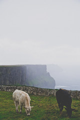 Black and White (kylebagleyphotos) Tags: nature cows cliffsofmoher ireland travel world cattle animal wilderness landscape fog cliff photography sky water ocean
