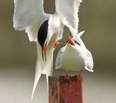 Common Terns (Alan McCluskie) Tags: terns commontern gulls birds seabirds seaswallow avian nature wildlife animals lake wings feathers sternahirundo