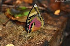 1028.jpg (laba laba) Tags: euphaedra hewitsoni euphaedrahewitsoni africa cameroon cameroun kribi mabenanga rainforest nature macro closeup butterfly insect
