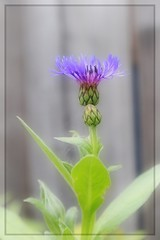 Bachelors (Note-ables by Lynn) Tags: macro flowers plant bachelorbuttons 7dwf flora garden