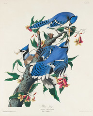 Blue Jay from Birds of America (1827) by John James Audubon (1785 - 1851 ), etched by Robert Havell (1793 - 1878). The original Birds of America is the most expensive printed book in the world and a truly awe-inspiring classic. (Free Public Domain Illustrations by rawpixel) Tags: birdsofamerica bluejay cyanocittacristata jay johnjamesaudubon roberthavell america bird