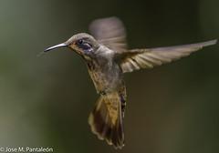 2-EL AGRESIVO!!Esta especie es muy agresiva, y en los alimentadores parece pasar mucho más tiempo atacando a otros picaflores que efectivamente a la alimentación. (Cimarrón Mayor 14,000.000. VISITAS GRACIAS) Tags: ordenapodiformes familiatrochilidae génerocolibri chillónpardo colibripardo colibríorejivioláceo nombrecientificocolibridelphinae nombreinglesbrownvioletear lugardecapturafincaalejandría cali colombia ave vogel bird oiseau paxaro fugl pássaro птица fågel uccello pták vták txori lintu aderyn éan madár cimarrónmayor panta pantaleón josémiguelpantaleón objetivo500mm telefoto700mm 7dmarkii canoneos canoneos7dmarkii naturaleza libertad libertee libre free fauna dominicano pájaro montañas
