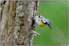 Yellow Throated warbler looking for spiders (RKop) Tags: d500 nikkor600f4evr 14xtciii raphaelkopanphotography huestonwoodspark ohio handheld iso400f561320 warbler warblers