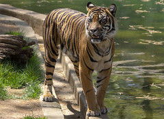National Zoo 3 May 2018  (650) Tiger (smata2) Tags: tiger tigre flickrbigcats bigcats smithsoniannationalzoo zoo zoosofnorthamerica itsazoooutthere animals zoocritters