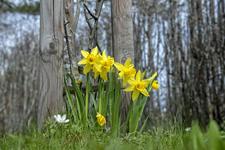 Wild daffodils planted in my garden - Norway