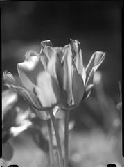 ICA090518-4 (salparadise666) Tags: ica universal palmos 9x12 large format view vintage analogue film camera folding field nils volkmer fomapan caffenol nature flowers closeup