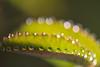 2Q4A8667b (영수엄) Tags: 새벽이슬 아침이슬 오이풀 일액현상 초접사 dew morningdew 풀잎