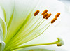 White Lily (Roniyo888) Tags: bright vibrant lily closeup bulb pistil plant flower texture pastel petal macro white green yellow olympus omd em1 garden macromademoiselle