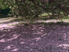 a sea of pink with bird (m_big_b) Tags: nyc brooklyn park cherryblossom bird