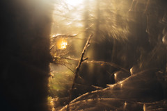 Gold (Glavind Strachan Photography) Tags: reversed helios442 woodland experimentalphotography reversedfrontelement gold adaptedlens