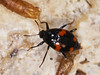 Shining Fungus Beetle - Scaphidium quadrimaculatum (Prank F) Tags: rspb thelodge sandy bedfordshireuk wildlife nature insect macro closeup beetle rove shining fungus scaphidiumquadrimaculatum