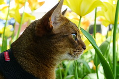 In the flower bed (DizzieMizzieLizzie) Tags: abyssinian aby lizzie dizziemizzielizzie portrait cat feline gato gatto katt katze kot meow pisica sony neko gatos chat fe ilce 2018 flowers macro a6500 50mm yellow ilce6500 pet grass