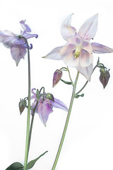 Aquilegia (DankSpangle) Tags: flower canonfd50mm35macro sonya7r