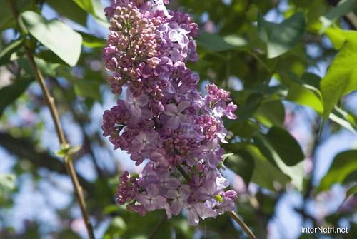 Сад бузків Ботанічний сад імені Гришка InterNetri  Ukraine 13