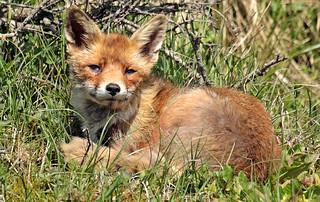 red fox awd BB2A3917