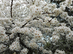 Spring in the Air...(22) (rimasjank) Tags: spring nature cherry tree