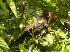 blackbird male in the ivy (river crane sanctuary) Tags: birds blackbird male river crane sanctuary