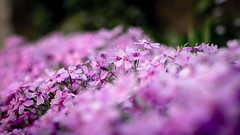 DoF (M.patrik) Tags: dof flowers pink purple macro line 35mm dslr nikon d3300