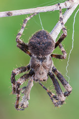 Orb Weaver (gatorlink) Tags: canon6dmarkii nature canonmpe65mmf2815xmacrophoto mountains forest canyons southerncalifornia berlebach wooden mini tripod insects arthropods bugs macro photography wildlife clevelandnationalforest zerenestacker spider orb weaver natural led light