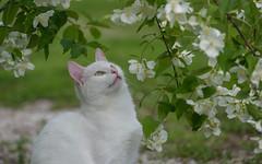 Katty (08) (Vlado Ferenčić) Tags: catsdogs cats animals animalplanet vladimirferencic katty vladoferencic kitty kittens kittysuperstar zagorje hrvatska croatia nikond600 sigma15028macro
