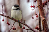 Surrounded by Berries (Neil_Wagner) Tags: bird chickadee closeup cute adorable detailed tree berries