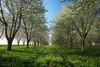 Spring Power (jo.haeringer) Tags: spring tree fuji sunrise flower xt2 sunshine orchard grass polarizing nisi