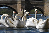 Swans on the Ouse (philk_56) Tags: stives cambridgeshire huntingdonshire swans waterbirds birds river ouse bridge