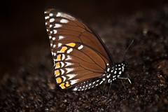 Papilio clytia clytia (Common Mime) f. clytia (GeeC) Tags: animalia arthropoda butterfliesmoths cambodia commonmime insecta kohkongprovince lepidoptera nature papilio papilioclytiaclytia papilionidae papilionoidea tatai truebutterflies