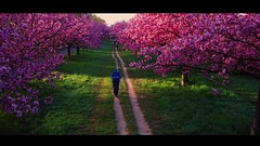 When the cherry blossoms are blooming...... (Christian_from_Berlin) Tags: cherry blossoms kirschbäume berlin spring frühling japan germany wallborderstrip beauty beautiful sakura berlinsteglitz teltow april hanami mavicpro video drone schönheit romantik lumafusion reunification friendship trees dji djimavicpro drohne multicopter