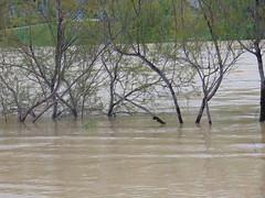 DSC06686 (Fotografías Gaby) Tags: rioebro ebro zaragoza crecida extraordinaria riada rio españa aragón