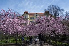 Seminarieparken 2018 (Rudi Pauwels) Tags: goteborg gothenburg sverige sweden schweden seminarieparken blossom cherryblossom sakura sakuratrees spring springtime spring2018 tamron 18270mm tamron18270mm nikon d7100 nikond7100