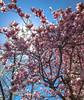 The Sun Squeaks Through (iMatthew) Tags: flickexplore madeexplore iphoneography magnoliaexplosion blossoms boston ma magnoliatrees magnoliablossoms magnoliabloom backbay sun lensflare