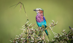 Lilac-breasted roller (Coracias caudatus) - Die Gabelracke (ラルフ - Ralf RKLFoto) Tags: kenia kenya masaimara narok natur safari tiere animals wildlife bird gabelracke lilacbreasted roller
