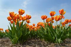 Tulips (Martin van Duijn) Tags: tulips flowers bulbs bulbflowers flowerfields bollenstreek netherlands noordwijk noordwijkerhout dezilk lisse sassenheim hillegom voorhout