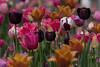 Agony of choice (michael_hamburg69) Tags: hamburg germany deutschland botanischergarten lokischmidtgarten kleinflottbek tulpe tulpen tulip tulips