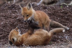 IMG_3425 red fox kits (starc283) Tags: starc283 wildlife flickr flicker fox kits red canon 7d nature natures finest nebraska watcher outdoors outdoor predator prairie kit foxes smug bug animal grass bear pet mammal wood