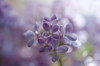 The violet scent (Baubec Izzet) Tags: baubecizzet pentax bokeh macrodreams flower spring lilac flickrunitedaward macromademoiselle