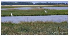 Great Egrets on the Wing_DSC4770 photoshop NIK edit © (nkatesphotography) Tags: bombayhookwildliferefuge smyrnade nikond500 tamron150600mmg2 birds waterfowl shorebirds wildlife nature greategret scenic landscape outdoors creeks streams ocean bay lakes
