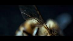 Bee (Samuel Portilla) Tags: bee abeja ala wing macro macrofotografía macrophotography macromondays insecto bokeh dof reversed lens canon cold low key blue yellow teal